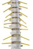 Geïsoleerde menselijke stekel Stock Foto