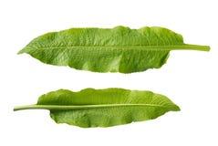 Geïsoleerde mierikswortelbladeren Royalty-vrije Stock Afbeeldingen