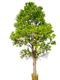 Geïsoleerde mooie groene boom royalty-vrije stock afbeelding