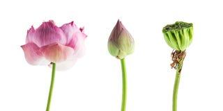Geïsoleerde mooie waterlelie bloeiende tropische roze lotusbloem op w Royalty-vrije Stock Afbeeldingen