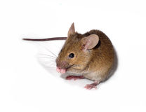geïsoleerde muis Royalty-vrije Stock Afbeelding