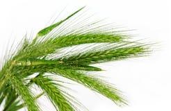 Geïsoleerde nat gras Stock Afbeelding