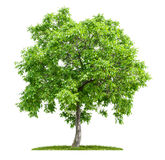 Geïsoleerde okkernootboom royalty-vrije stock afbeeldingen