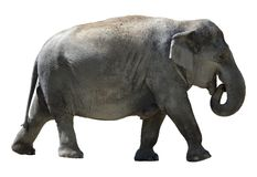 Geïsoleerde olifant. Royalty-vrije Stock Afbeeldingen