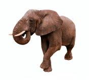 Geïsoleerde olifant Stock Foto's
