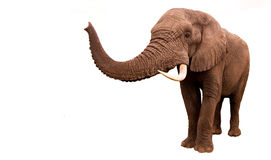 Geïsoleerde olifant Royalty-vrije Stock Foto's
