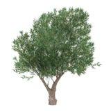 Geïsoleerde Olive Tree. Oleaeuropaea Stock Afbeeldingen
