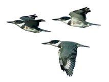 Geïsoleerde Omgorde Ijsvogels tijdens de vlucht Royalty-vrije Stock Fotografie