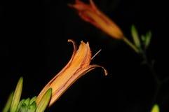 Geïsoleerde Oranje Daglelies, Hemerocallis Stock Afbeeldingen