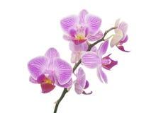 Geïsoleerde orchidee Stock Fotografie