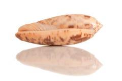 Geïsoleerde overzeese shell met bezinning Royalty-vrije Stock Afbeeldingen