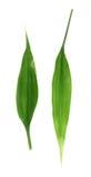 Geïsoleerde palmbladeren Stock Fotografie