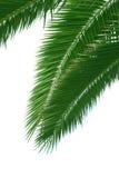 Geïsoleerde palmtree Stock Foto