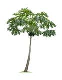 Geïsoleerde papajaboom op witte achtergrond Royalty-vrije Stock Fotografie