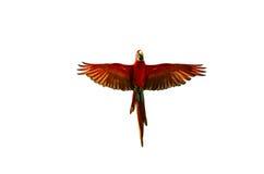Geïsoleerde papegaai Stock Afbeeldingen