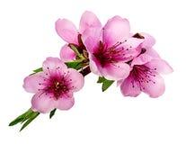 Geïsoleerde perzikbloemen Stock Afbeeldingen