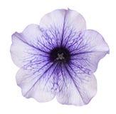 Geïsoleerde petuniabloem Stock Foto