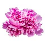 Geïsoleerde pioenbloemen Royalty-vrije Stock Foto's