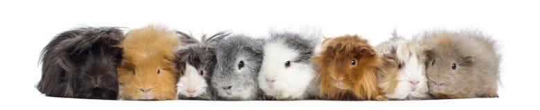 Geïsoleerde proefkonijnen op een rij, Stock Foto's