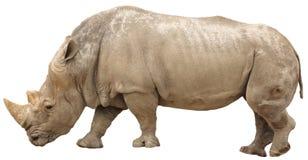 Geïsoleerde rinoceros Stock Foto's