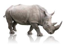 Geïsoleerde rinoceros Stock Foto