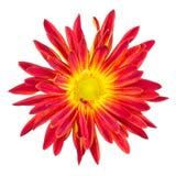 Geïsoleerde rode en gele mum op wit Stock Afbeelding