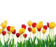 Geïsoleerde Rode en Gele Tulpen Stock Afbeeldingen