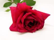 Geïsoleerde Rode Rose Flower op een Witte Achtergrond stock foto's