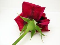 Geïsoleerde Rode Rose Flower op een Witte Achtergrond stock foto