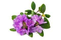 Geïsoleerde rododendron purpere bloemen Stock Afbeelding