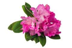 Geïsoleerde rododendron roze bloemen Royalty-vrije Stock Fotografie