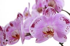 Geïsoleerde roze bloem op witte achtergrond stock afbeeldingen