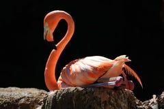 Geïsoleerde roze flamingo die op een rots tegen een zwarte achtergrond rusten Royalty-vrije Stock Foto