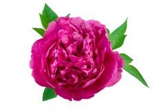 Geïsoleerde Roze Purple van de Pioenbloem Stock Fotografie