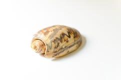 Geïsoleerde shell Royalty-vrije Stock Fotografie