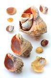 Geïsoleerde Shells en Rapana Stock Afbeeldingen