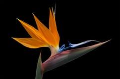 Geïsoleerde strelitzia op zwarte achtergrond Stock Afbeelding