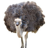 Geïsoleerde Struisvogel Stock Foto