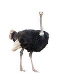 Geïsoleerde struisvogel Royalty-vrije Stock Fotografie