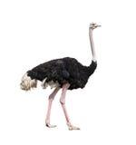 Geïsoleerde struisvogel volledige lengte stock afbeelding