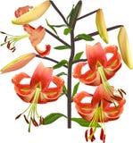 Geïsoleerde tak met oranje leliebloemen Stock Afbeelding