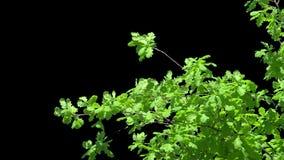 Geïsoleerde tak van kersenboom met witte bloemen stock video
