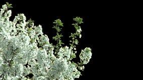 Geïsoleerde tak van kersenboom met witte bloemen stock videobeelden