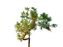 Geïsoleerde takboom stock afbeeldingen