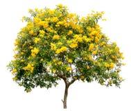 Geïsoleerde tecoma stans boom, het gouden gele van de de bloembloesem van de trompetwijnstok de struikspecimen, op witte achtergr royalty-vrije stock foto