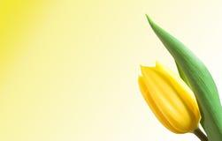 Geïsoleerde tulp stock foto's