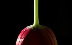 Geïsoleerde tulpenbloem Royalty-vrije Stock Afbeeldingen
