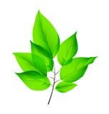 Geïsoleerde verse groene bladeren Vector illustratie EPS10 Stock Foto's