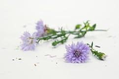 Geïsoleerde violette purpere snijdersbloem op witte achtergrond Stock Fotografie