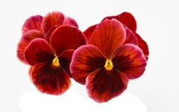 Geïsoleerde viooltjebloem stock foto's
